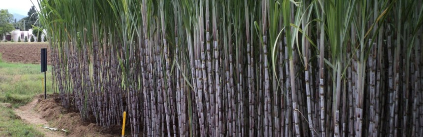 """natl the cane farmers """"florida's sugar cane farmers play such an important role in helping to secure america's domestic food supply in one of the most important food-producing regions of the entire country ."""